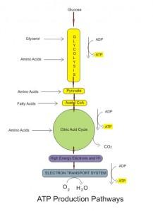 produksi ATP