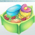 vakuola sentral