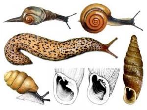Ciri-ciri-Mollusca-300x225