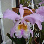 Orchidaceae-Venezuela