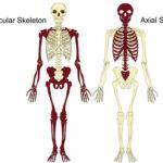 Rangka Aksial dan rangka apendikular