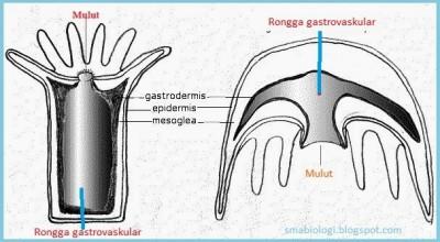 colenterata rongga gastrovaskular