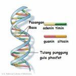 gambar-struktur-dna