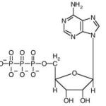gambar molekul atp