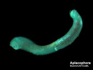 kelas Aplacophora