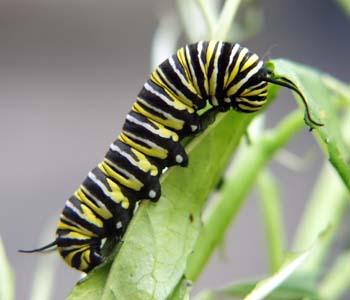 larva_kupu-kupu
