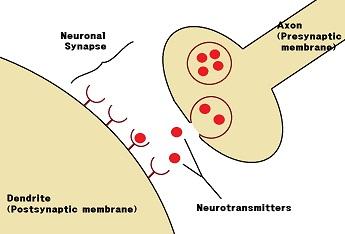 saraf Sinapsis