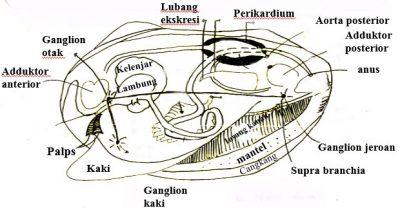 sistem ekskresi mollusca