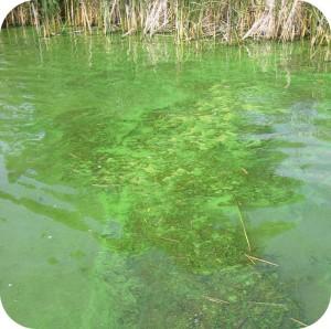 mekar alga