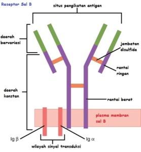 Reseptor Sel B