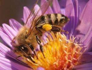 penyerbukan oleh serangga