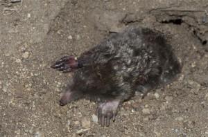 struktur vestigial moles