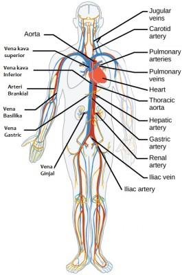 Arteri dan vena utama