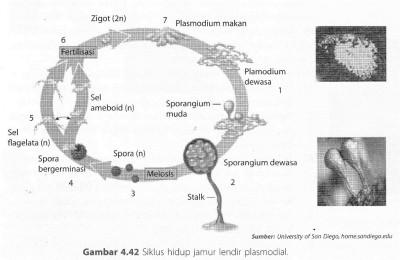 Siklus hidup Jamur Lendir Myxomycota