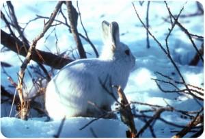 kelinci artik