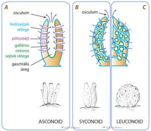 Bentuk Tubuh Porifera