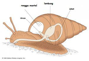 Ciri-ciri Mollusca