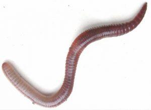 Oligochaeta lumbricus terrestris