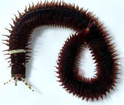 Polychaeta eunice sp