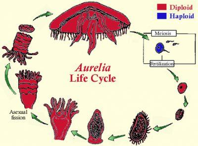 Siklus hidup Aurelia