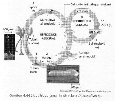 Siklus hidup Jamur Acrasiomycota