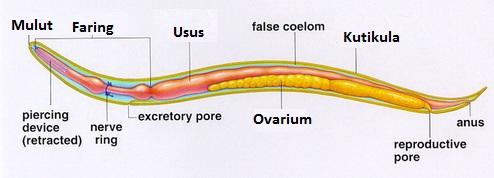 Struktur dan fungsi tubuh Nematoda