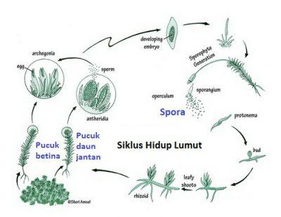 siklus hidup lumut