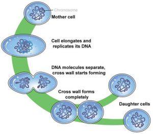 Bakteri berkembang biak dengan pembelahan biner