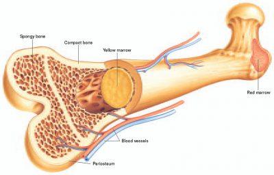 Sumsum Tulang