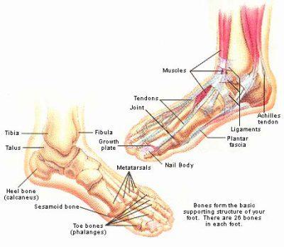 anatomi kaki manusia