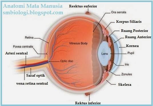 anatomi mata manusia