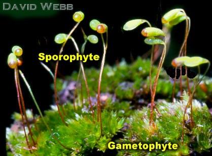 gametofit dan sporofit tumbuhan lumut