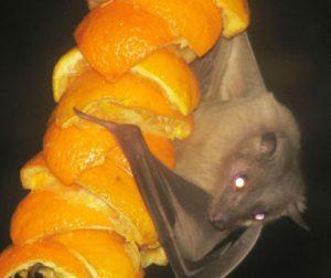 kelelawar buah
