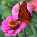 penyerbukan oleh kupu-kupu