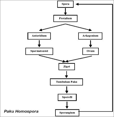 siklus hidup tumbuhan paku homospora