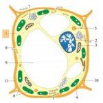 Sitoplasma sel tumbuhan