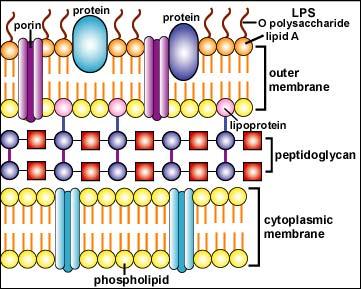 dinding sel bakteri gram negatif