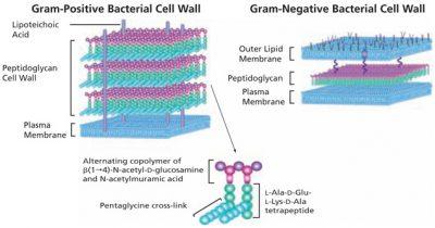 dinding sel bakteri gram positif negatif