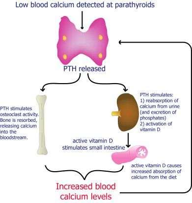 cara kerja hormon paratiroid