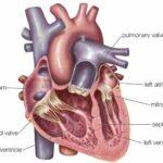 Atrium jantung