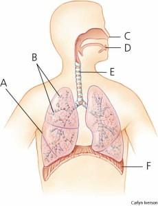 Organ Sistem Pernapasan