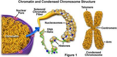 Pengertian Kromatin
