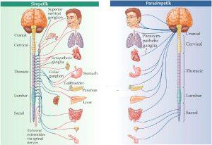 Perbedaan Sistem saraf somatik otonom