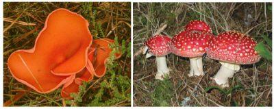 Perbedaan antara Ascomycota dan Basidiomycota
