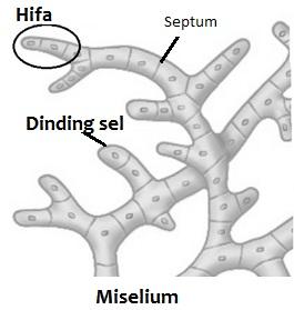Perbedaan antara Hifa dan Miselium
