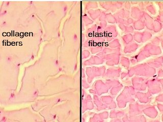Perbedaan antara Kolagen dan Elastin