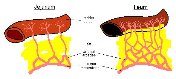 Perbedaan antara jejunum dan Duodenum