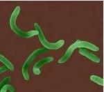 bakteri vibrio