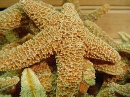 bintang laut Echinodermata