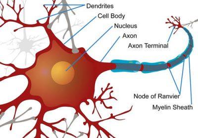 diagram sel saraf